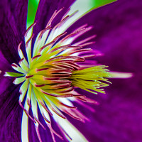 Clematis Abstract