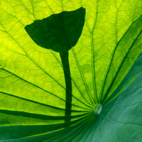 Lotus Flower Leaf and Pod