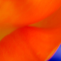Orange Tulip Abstract